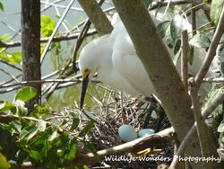 Snowy Egret with eggs