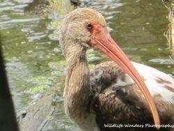 White Ibis (sub-adult) up close