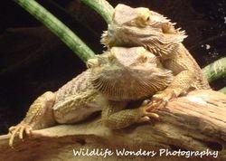 Bearded Dragon friends