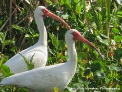 White Ibis looking...