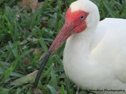 White Ibis with breeding plumage