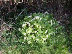 Primroses in Spring