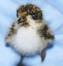 Baby Plover