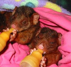 Twin ringtail possums having their bottles
