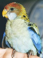 Pale faced Rosella