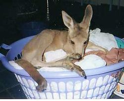 Taroom in the laundry basket