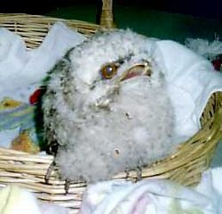 Fluffy the baby tawny frogmouth