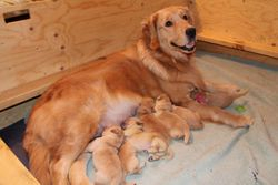 Kahshe with 2013 Puppies