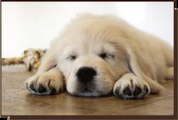 Goldnote Golden Puppy