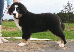 Bernation Sir Hudson as a baby puppy