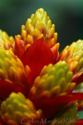 Bromelia Flor Ubatuba cod.0316