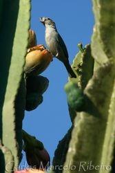 Sanhaco cactus cod.9487