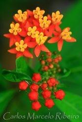 Flowers Itatiaia National Park