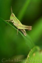 Grasshopper cod.1058