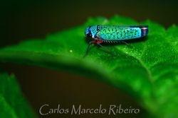 Leafhopper cod.2935