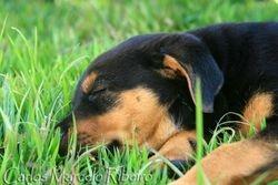 Little Rottweiler cod.7608