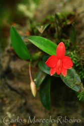 Orchid PECJ cod.5718