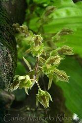 Orchid ESALQ cod.9068