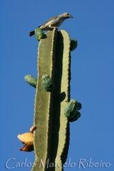 Sanhaco cactus cod.9480