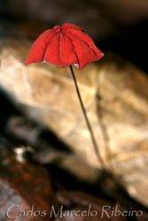 Umbrella Mushroom cod.PETAR
