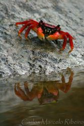 Caranguejo vermelho Ubatuba cod.9721