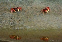Caranguejo vermelho Ubatuba cod.9766