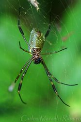 Spider Ubatuba cod.9957