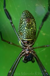 Spider Ubatuba cod.9964