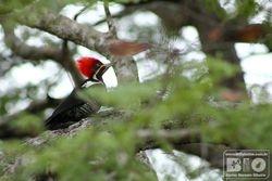 Pica pau de topete vermelho Pantanal cod3891