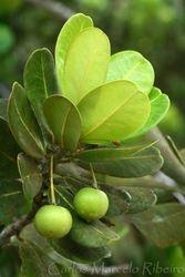 Frutos Ilha Ubatuba cod.9844