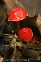 Cogumelo Vermelho Amarelo Sousas cod.429