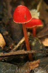 Cogumelo Vermelho Amarelo Sousas cod.431