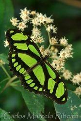 Green Butterfly cod.7473