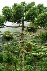 Araucaria angustifolia PECJ cod.5616