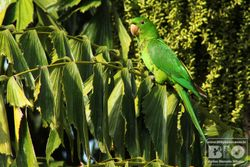 Periquito Maracana PI cod.1257