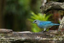 Sanhaco-do-encontro-azul PZ cod.1033