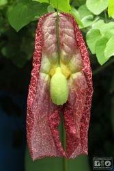 Aristolochia BIOphotos Nature Stock Photos cod6636