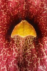 Aristolochia BIOphotos Nature Stock Photos cod6683