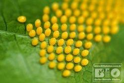 Butterfly Eggs cod6860