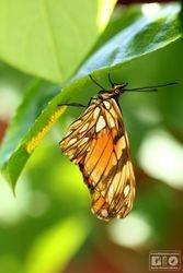Butterfly Eggs cod6799