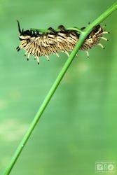 Caterpillar Aristolochia cod6770