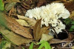 Cogumelo PEI cod.3193