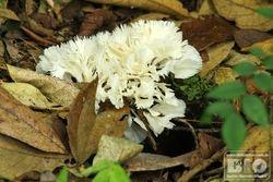 Cogumelo PEI cod.3194