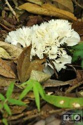 Cogumelo PEI cod.3195