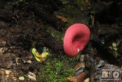 Cogumelo Rosa PEI cod.3333