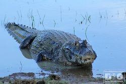 Jacare Pantanal MS cod4070