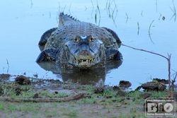 Jacare Pantanal MS cod4071