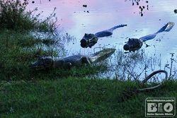 Jacare Pantanal MS cod4279