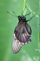 Parides Butterfly Aristolochia Plant cod6559