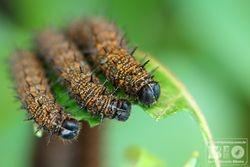 Caterpillar cod6576